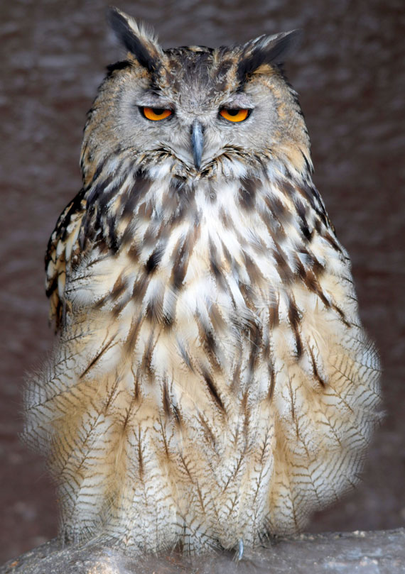 Px Eurasian Eagle Owl Maurice Van Bruggen as well Pine Cone Owl Ornaments also Snowy Bowls Bvintage Bimage Bgraphicsfairy Sm moreover Snowy Owl in addition Eurasian Eagle Owl Matthew Jellings. on snowy owls