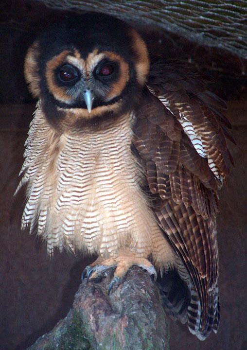 Malaysian Brown Wood Owl Screech Owl Wildlife Park